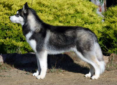 Siberian-husky.jpg